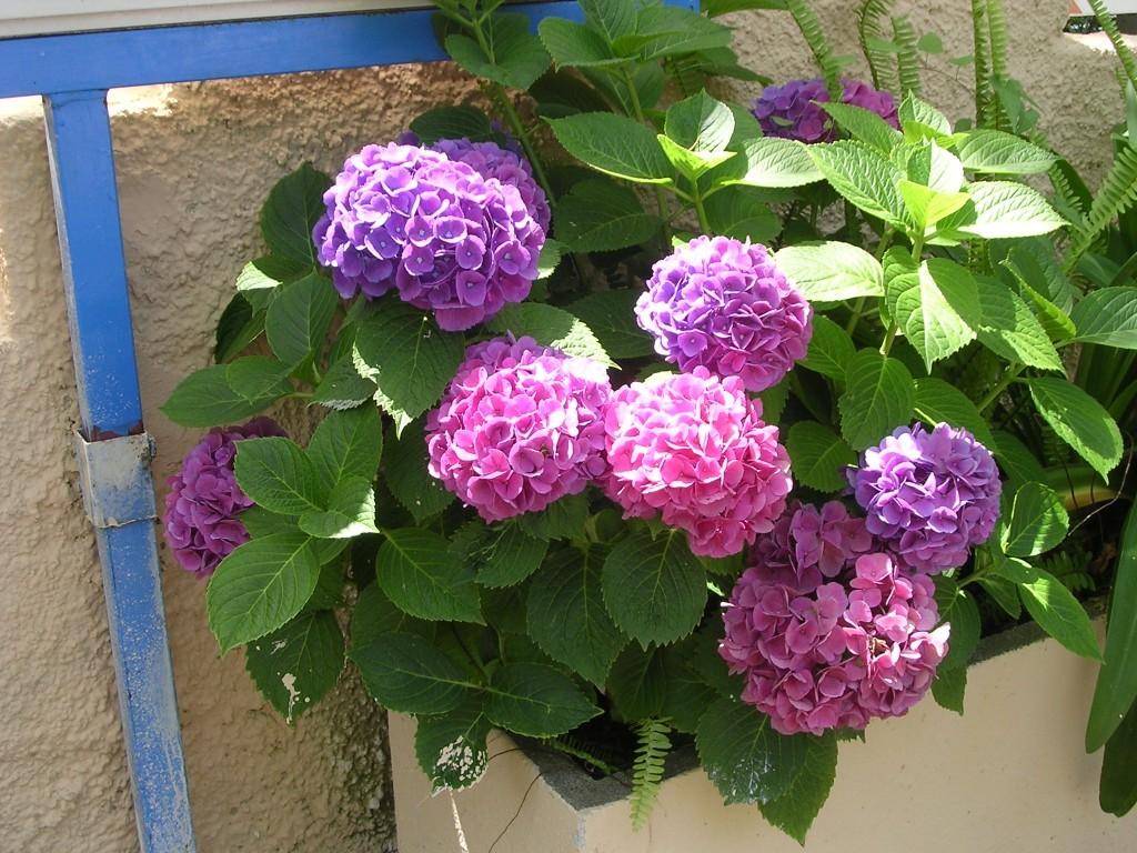 Mille splendidi fiori oceanoblu for Piante da cespuglio